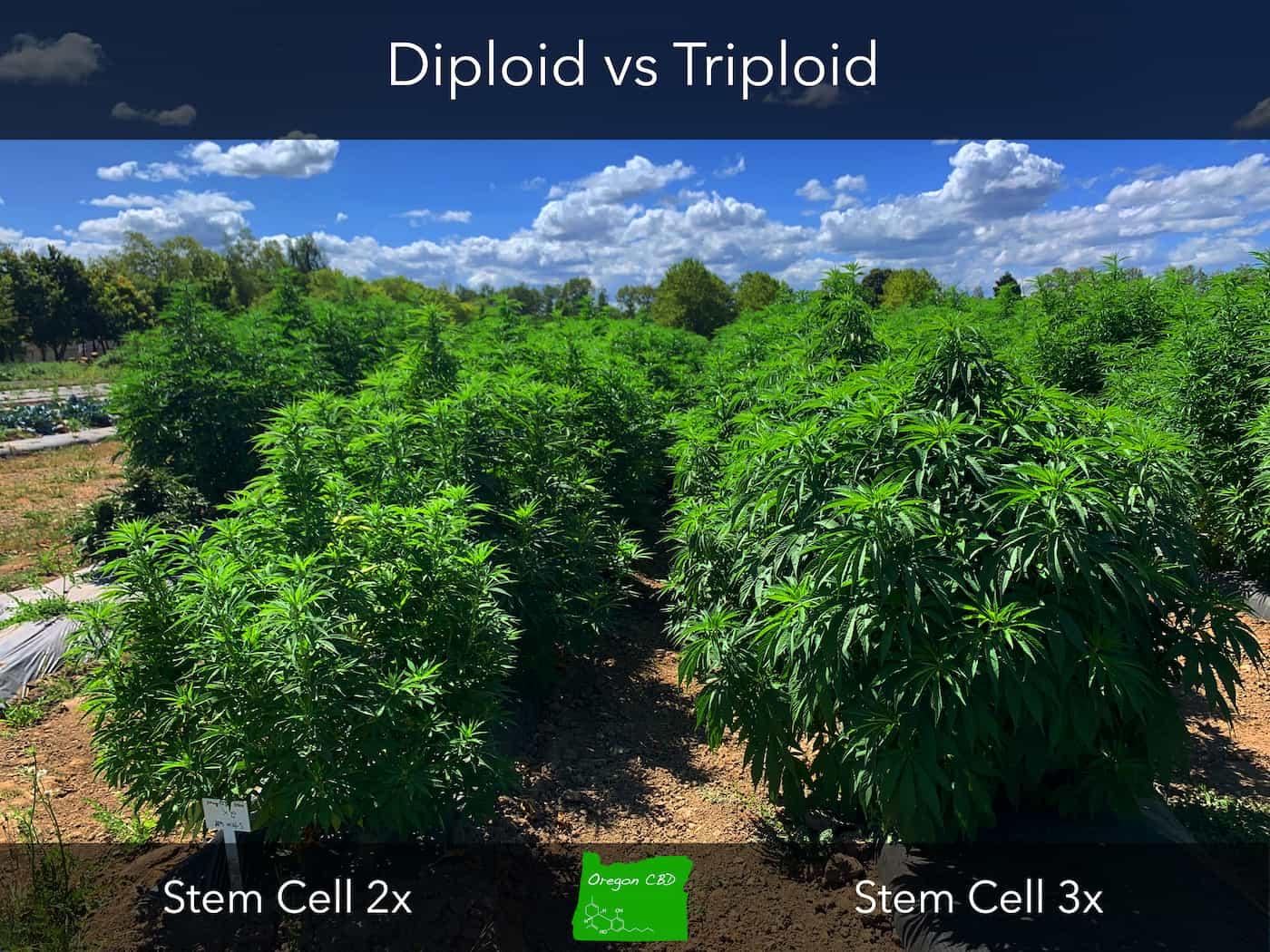 Triploid Cannabis Hemp